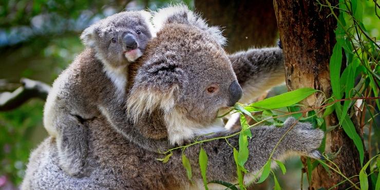 koala and a joey