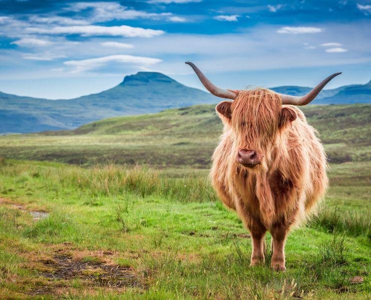 Highland cow - Isle of Skye Itinerary