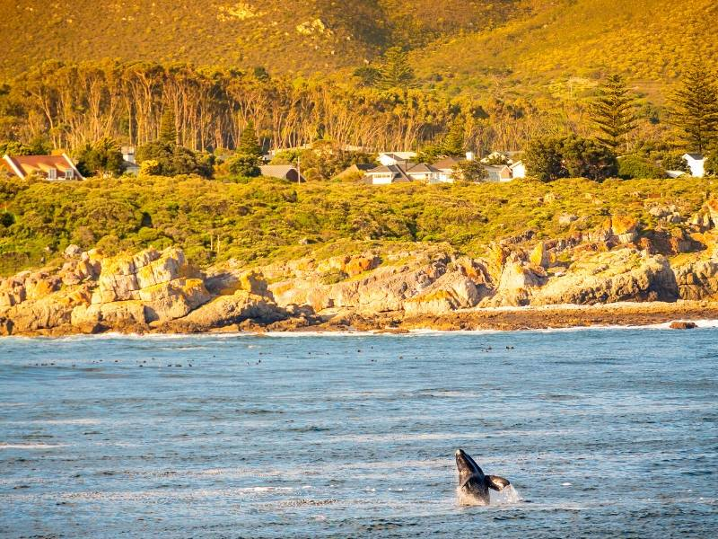 A whale breaching in Hermanus South Africa