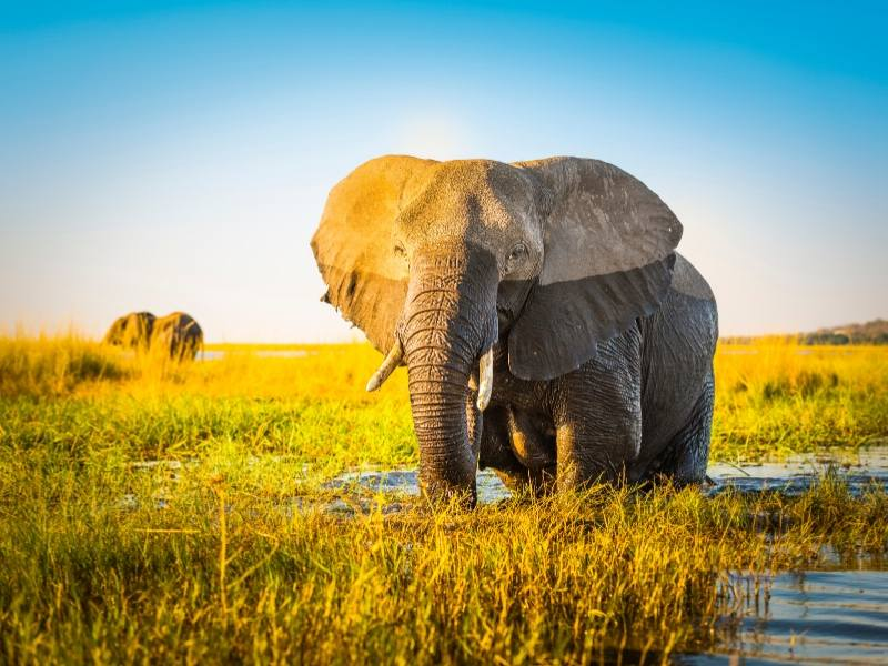 Elephant are common on safari Botswana style and often seen in the water as in the picture