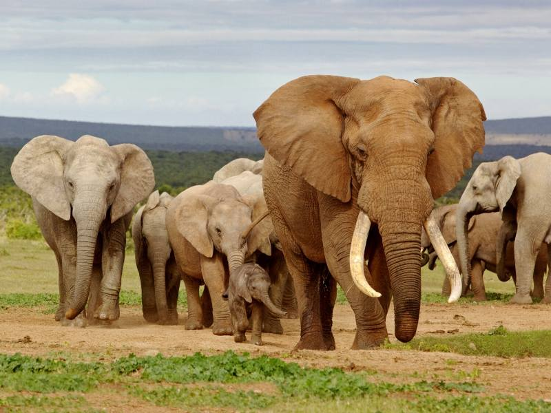 Elephants at Addo in South Africa