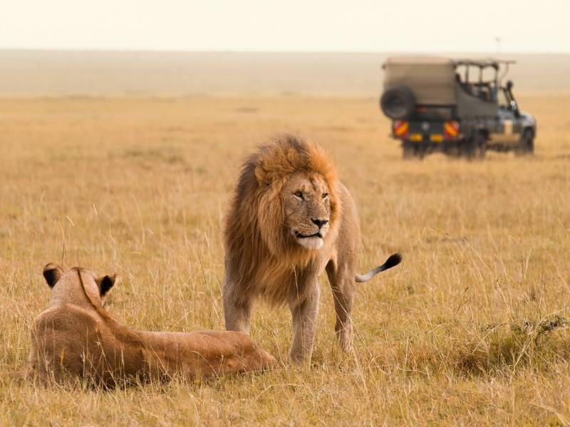 Lions with a jeep in the background