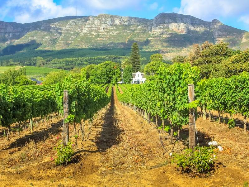 South African Stellenbosch wine route with a Cape Dutch House in a field of vines