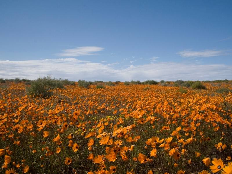 Wild flowers in Namaqualand  in South Africa