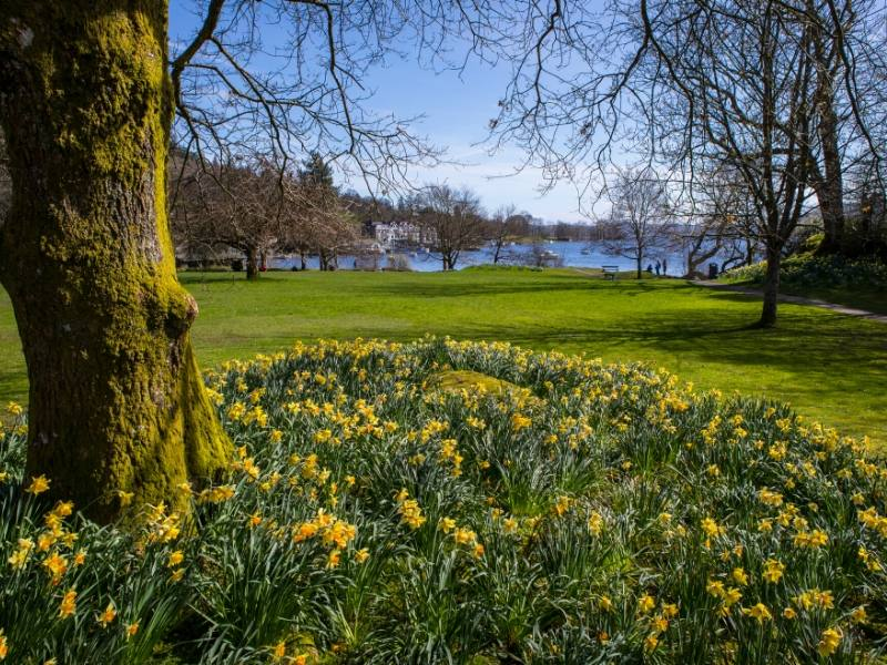 Daffodils with a view of Lake Windermere in the background