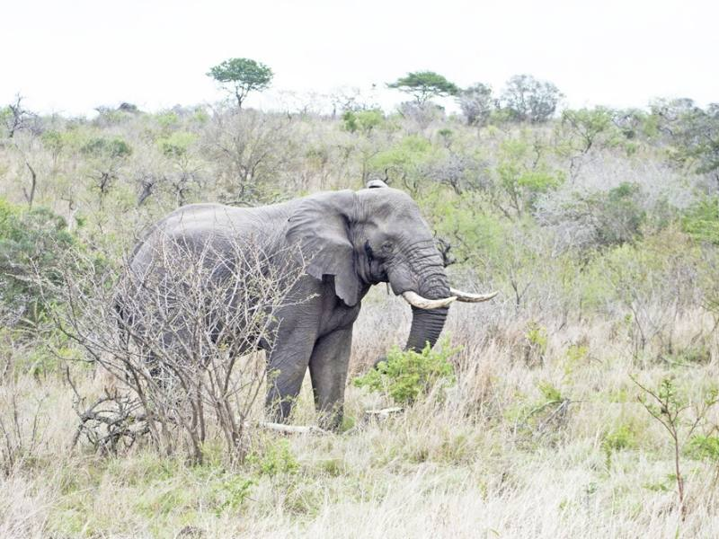 Elephant in the SA bush