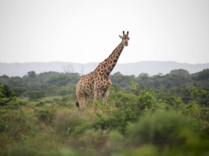 A giraffe at iSimangaliso Wetland Park