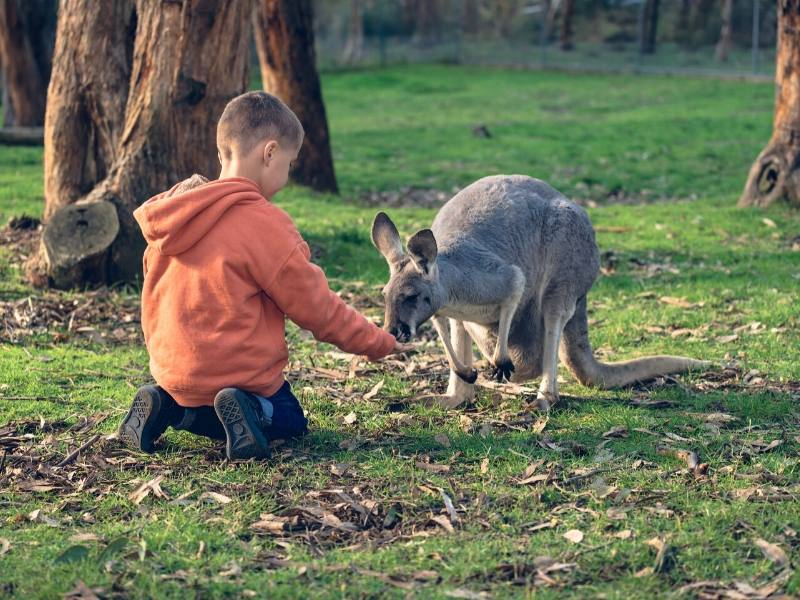 Kangaroo being fed by a little boy in Australia