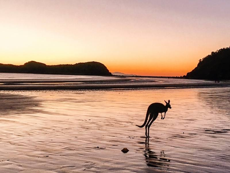 Kangaroo hopping across a beach with the sun coming up behind one of Cape Hillsborough kangaroos