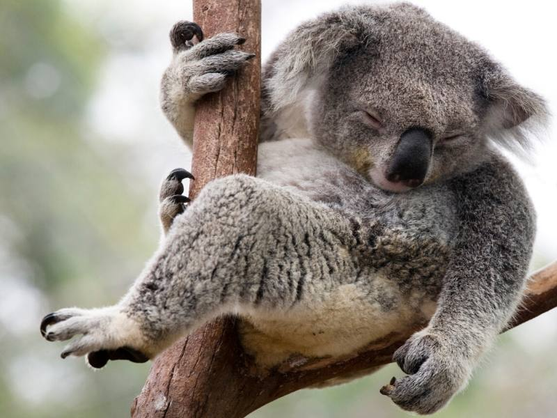 Koala asleep in a tree in Australia