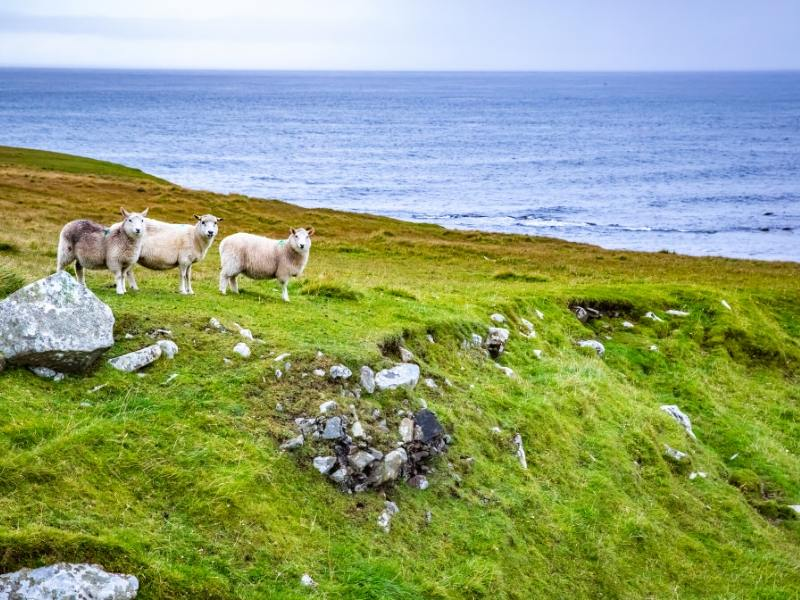 Shetland Islands with some sheep features in the British TV Series of the same name