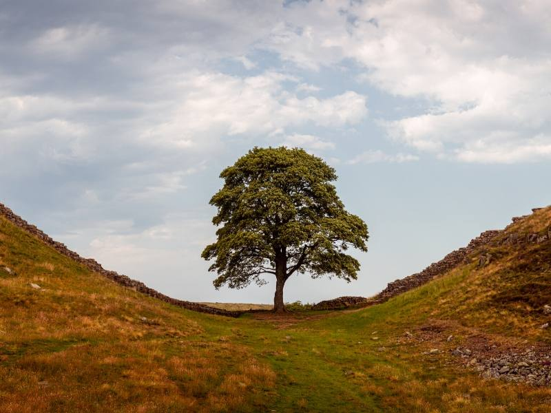 Sycamore Gap - a lone tree stands in a gap between two hills in Northumberland
