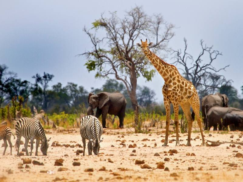 Giraffe, elephants and zebras