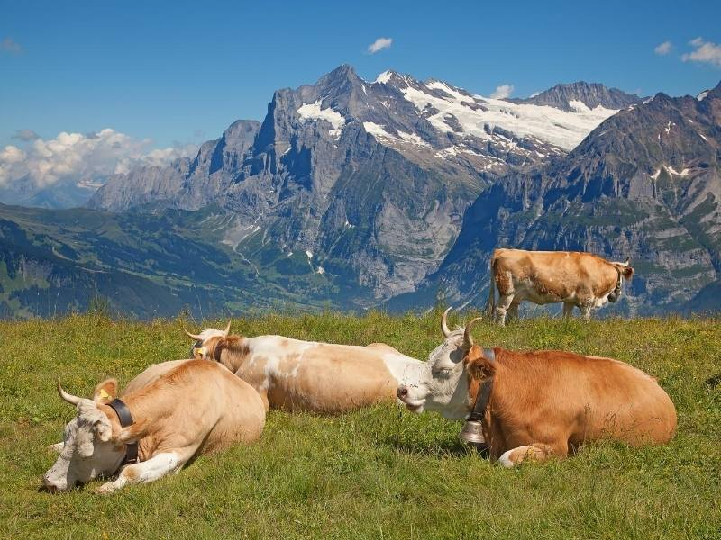 Swiss cows with snow capped mountains behind