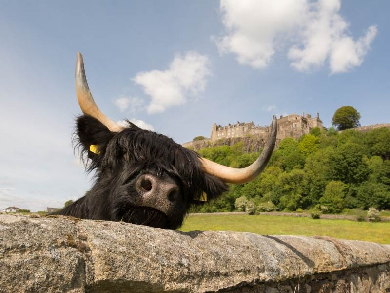 Highland cow with a castle in the background