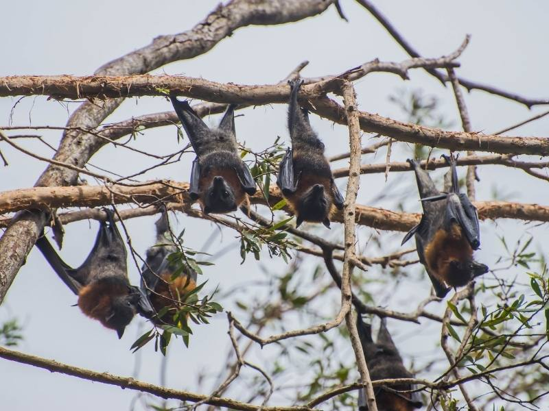 Flying foxes are one of the most unpopular Australian animals in Queensland
