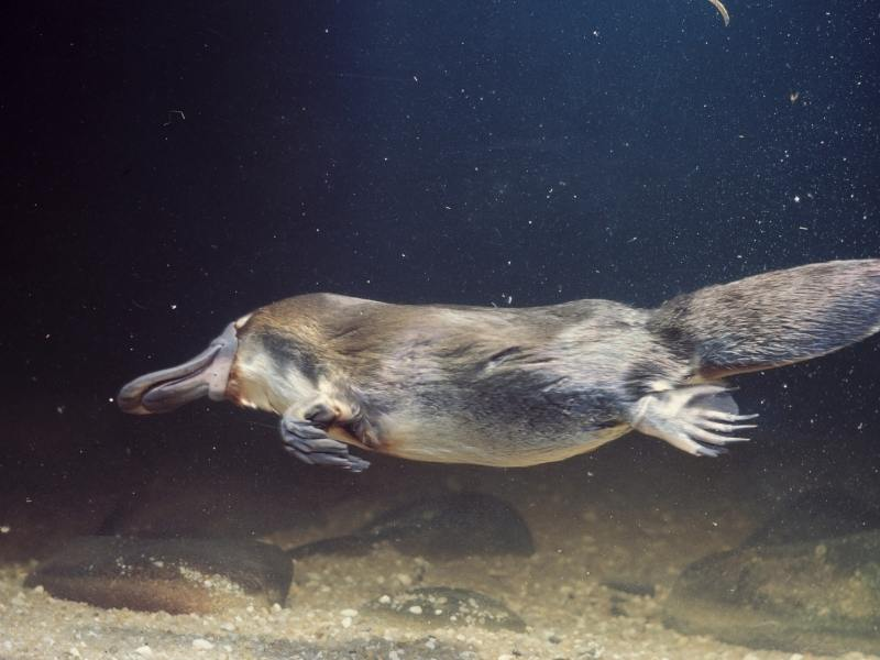 The platypus is one of many Australian animals in Queensland