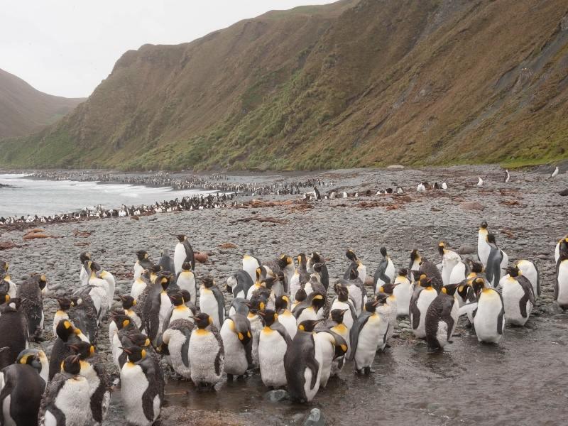 Macquarie Island penguins