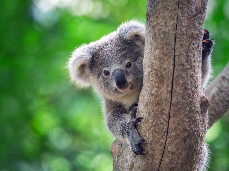 A Koala in a tree many Australian animals such as the koala appear in Australian shows on Netflix.
