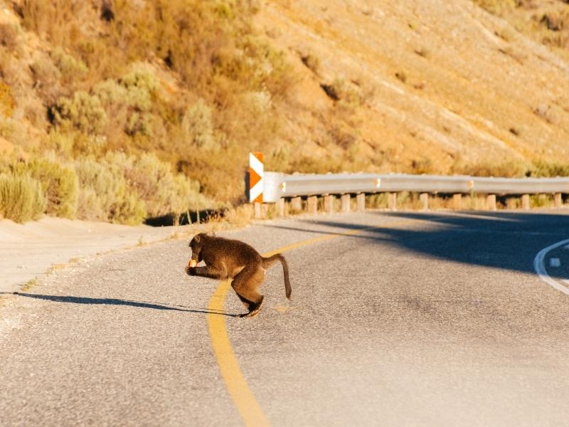 Baboon crossing the road in South Africa.