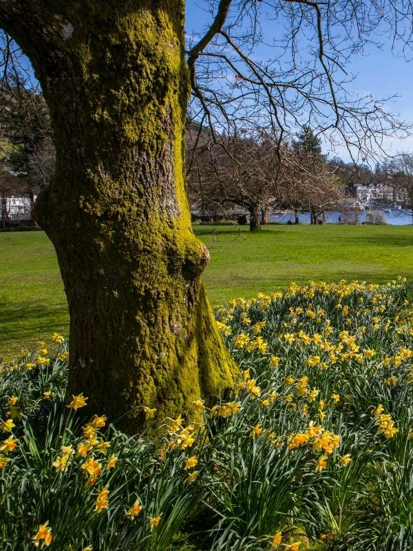 Daffodils at the Lake District