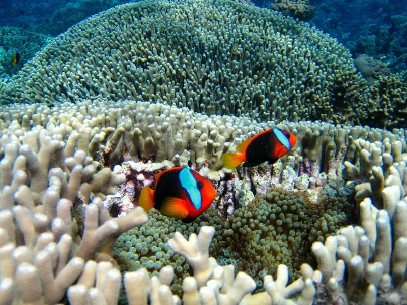Nemo fish on the Great Barrier Reef.